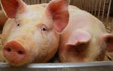 zwalczanie afrykańskiego pomoru świń