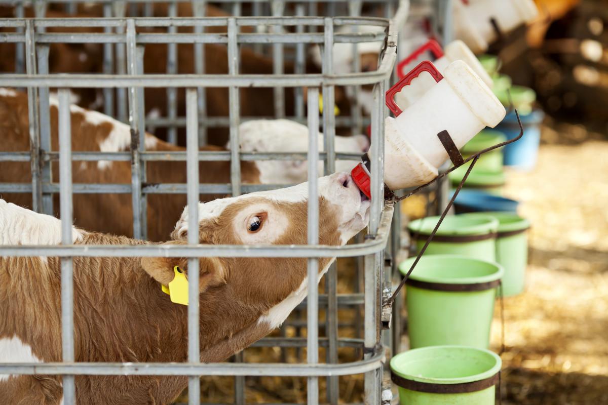 mleko czy preparaty mlekozastępcze? / problemy ucieląt