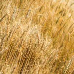 Zboża: prognozowany wzrost cen zbóż konsumpcyjnych