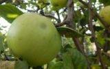 stare jabłonie