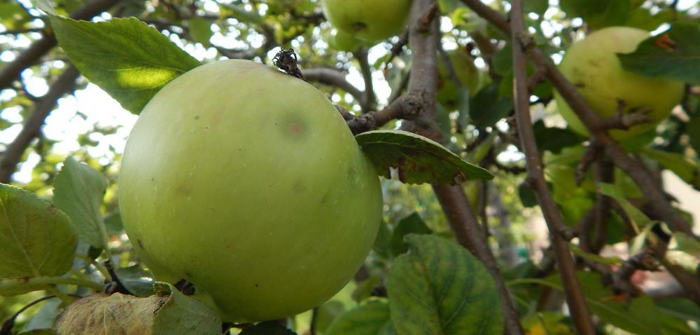 Stare jabłonie wsadzie: pozbyć się czy pielęgnować?