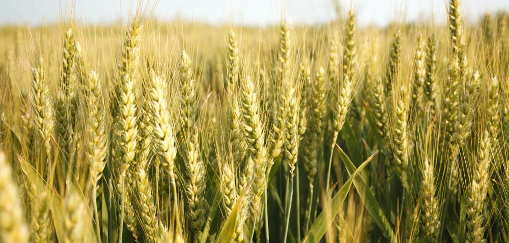 Opolskie: jakie są ceny zbóż?
