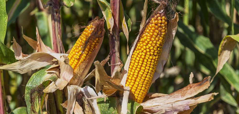 Kukurydza rośnie dobrze, ale wytwarza kolby wtórne
