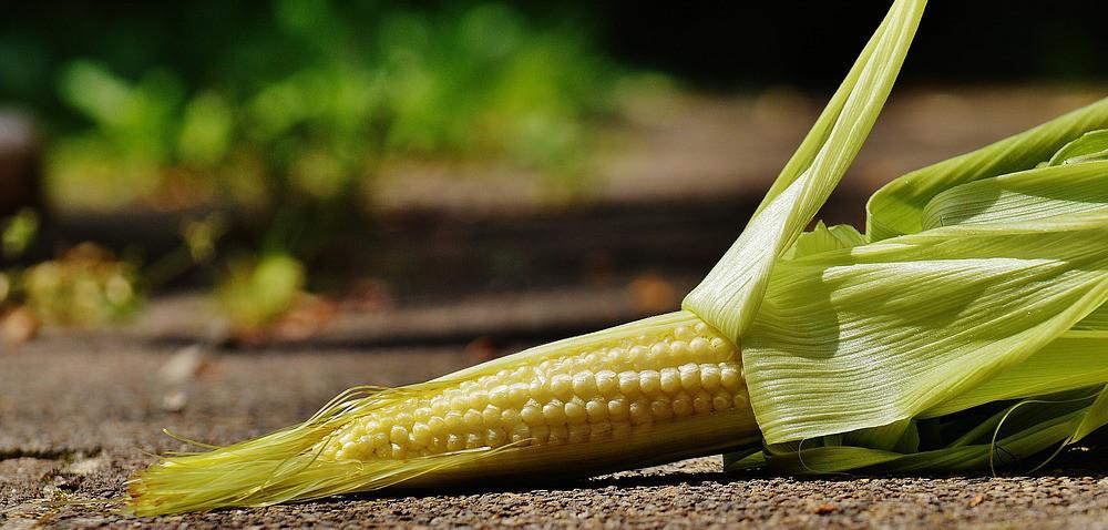 7 września: Kujawsko-Pomorski Dzień Kukurydzy
