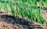 integrowana produkcja czosnku