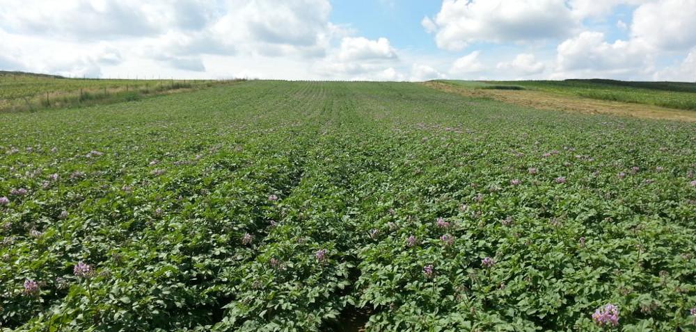 Jakie znaczenie ma desykacja ziemniaka?