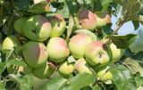 czy będzie nadprodukcja jabłek / jabłka