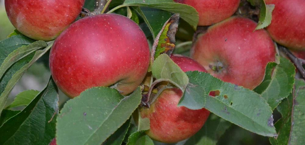 Drzewka owocowe: co zposzukiwanymi odmianami?