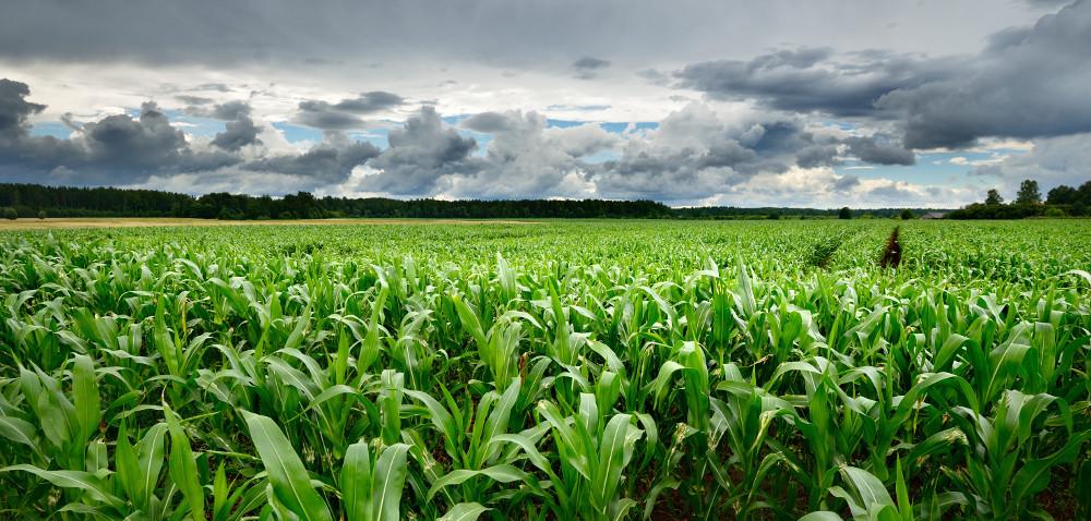 Deszczowa pogoda sprzyja kukurydzy