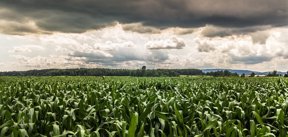 Stonka kukurydziana wodwrocie. Dlaczego?