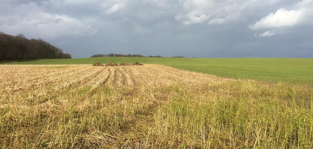 Samosiewy rzepaku: uciążliwe przy uprawie roślin następczych