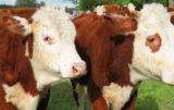 Czy jest szansa dla bydła mlecznego?
