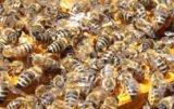 brakuje pszczelarzy