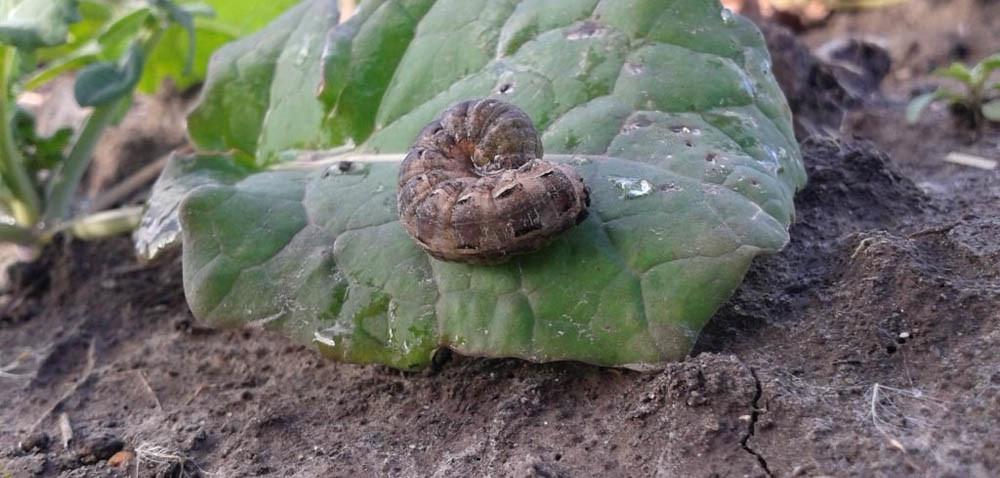 Jakie szkodniki glebowe czekają na rzepak ozimy?
