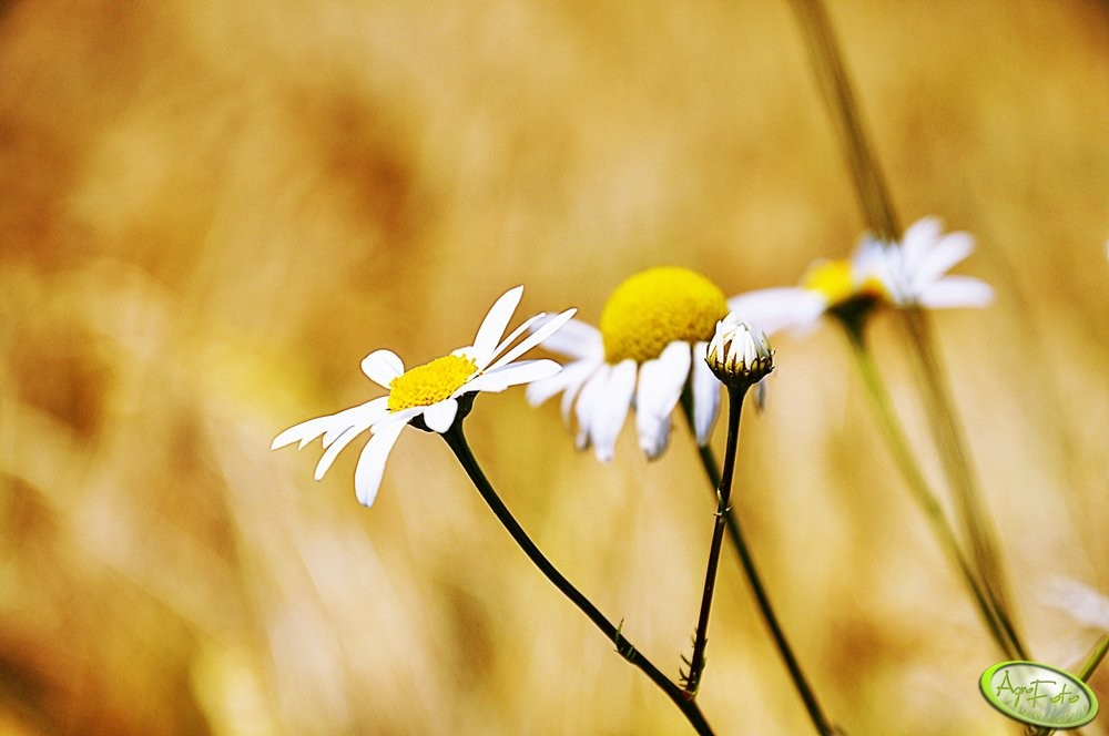 uprawa rzepaku - zwalczanie chwastów