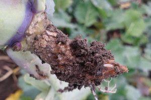 Zwalczanie śmietki kapuścianej wrzepaku mimo zapraw!