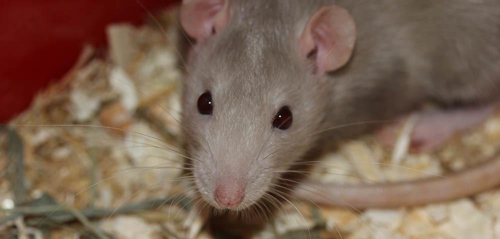 Szczury imyszy wmagazynie: usunie je tylko specjalista!