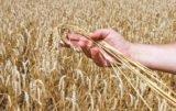 zbiory zbóż małopolska