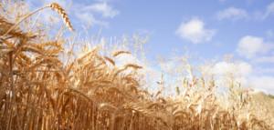 Substancje antyodżywcze wziarniach zbóż