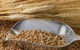 Ceny zbóż w skupach jak na razie stabilne