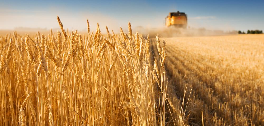 niezadowoleni rolnicy / ceny zboża