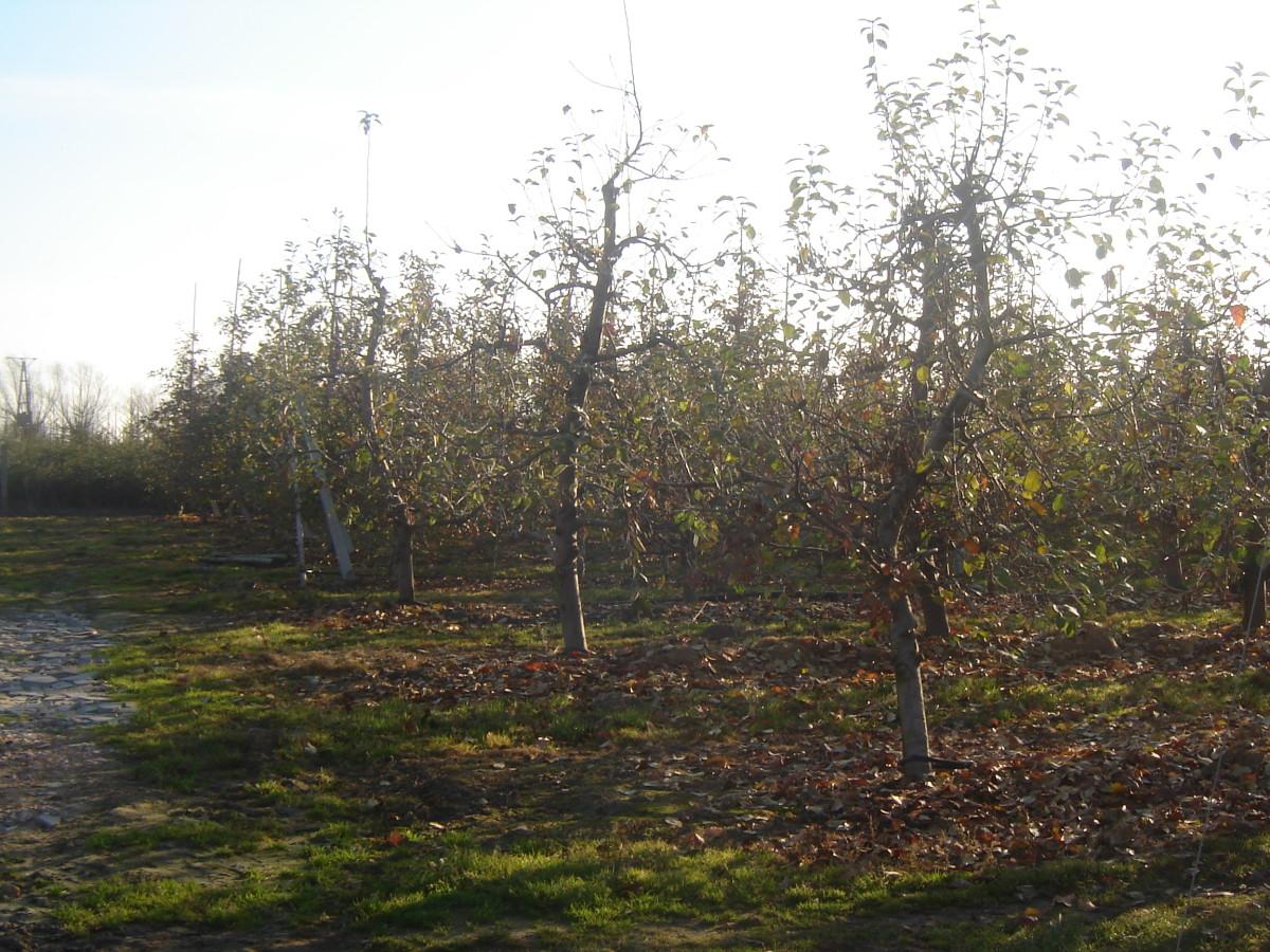 Przygotowanie drzew owocowych do zimy: kiedy ijak?