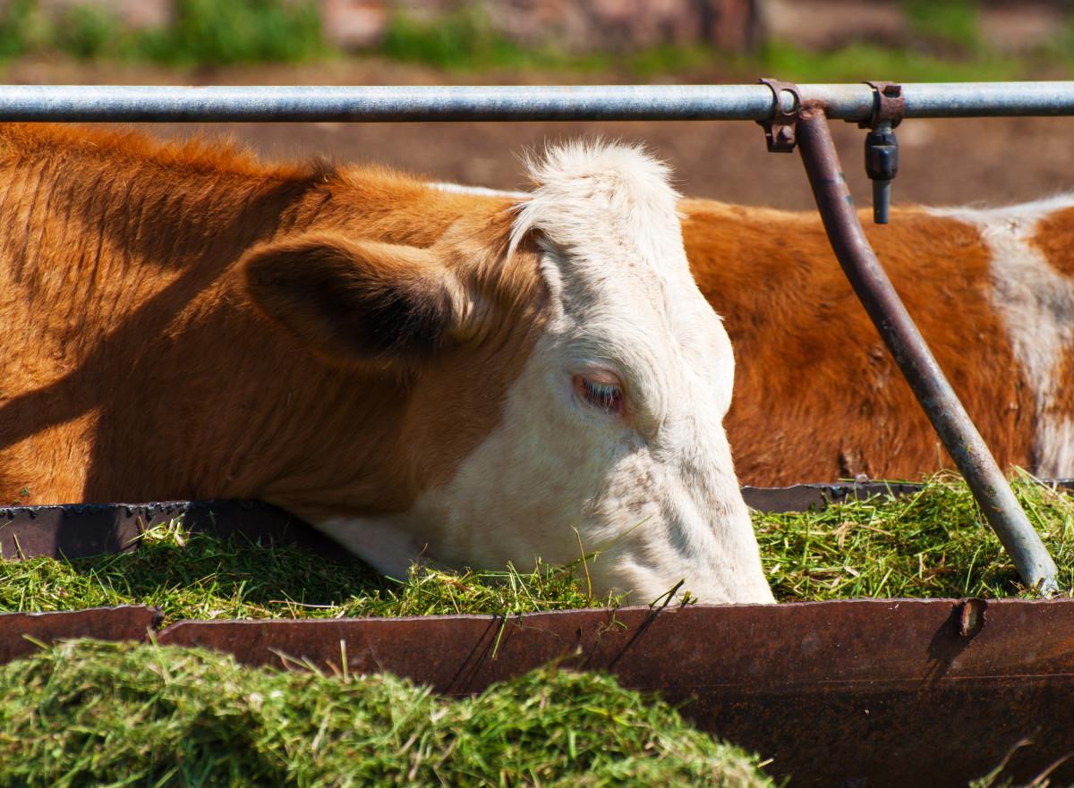 ile wody krowie?