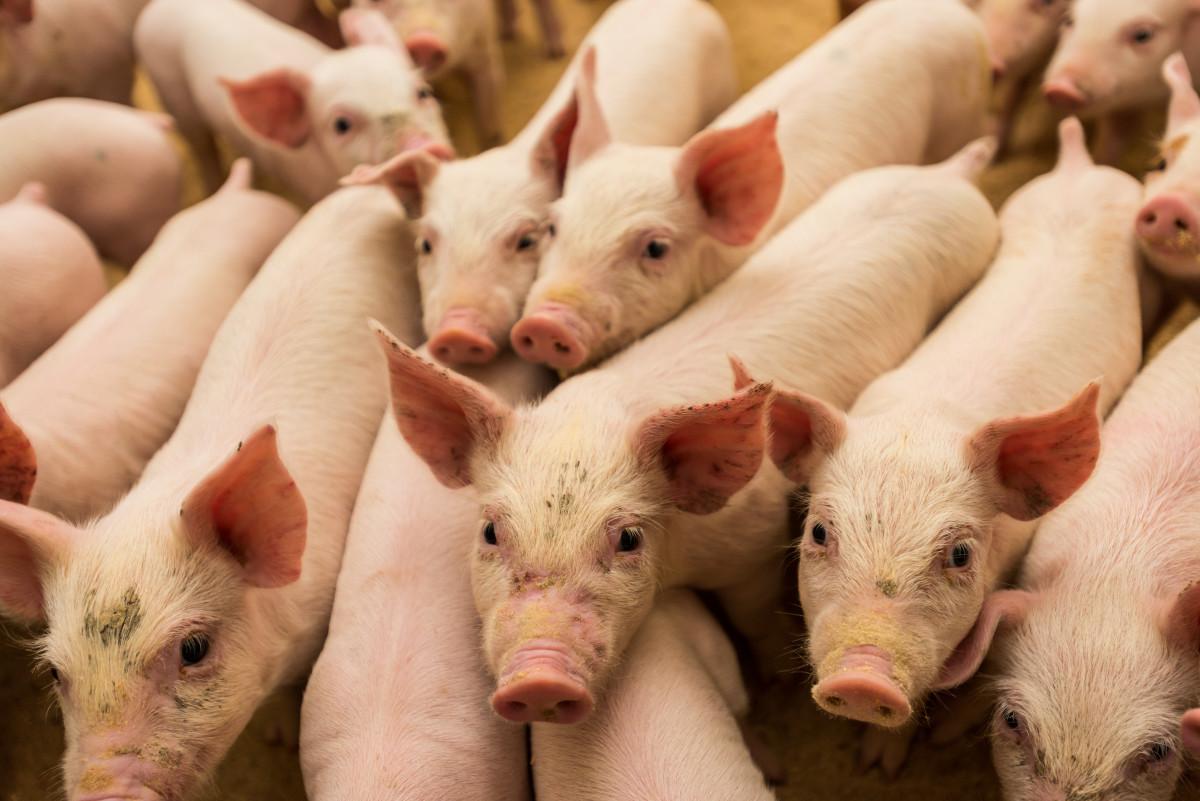 asf rejestracja świń