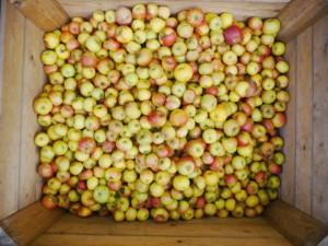 rynek jabłek