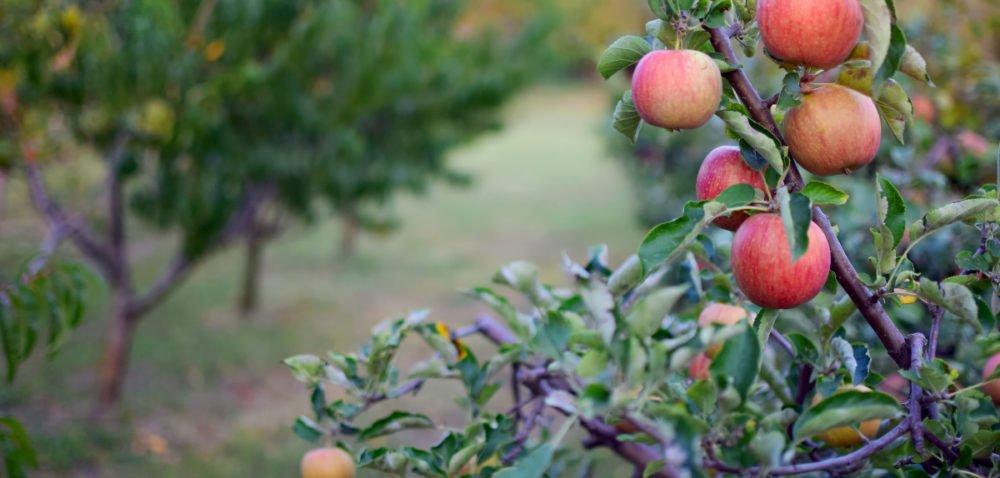 Zbiory jabłek wPolsce – wzrost kosztów ibrak rąk do pracy
