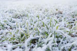 okrywa śnieżna na zbożu