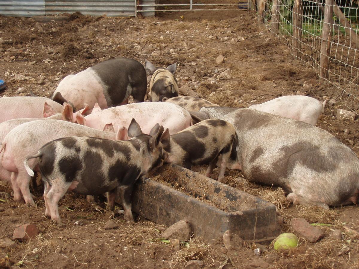 mieszanie zbóż wpaszach dla świń