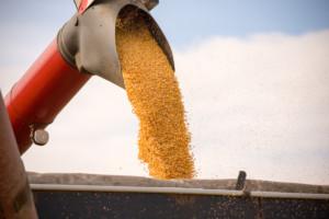 zbiory kukurydzy na ziarno