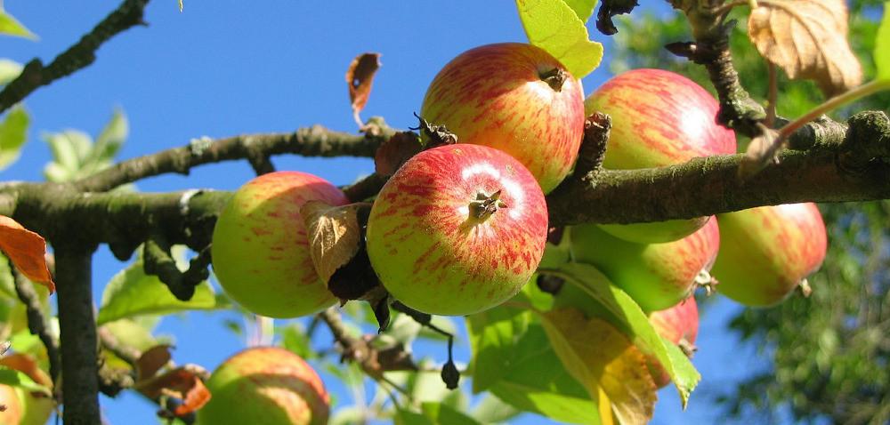 Opryski jabłoni przed zbiorami