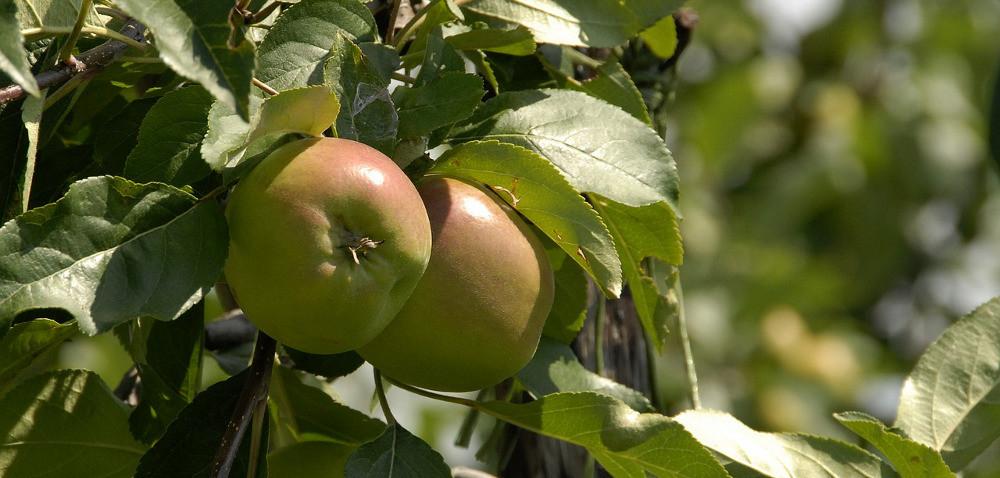 Sadownicy narzekają na słabo wybarwione jabłka
