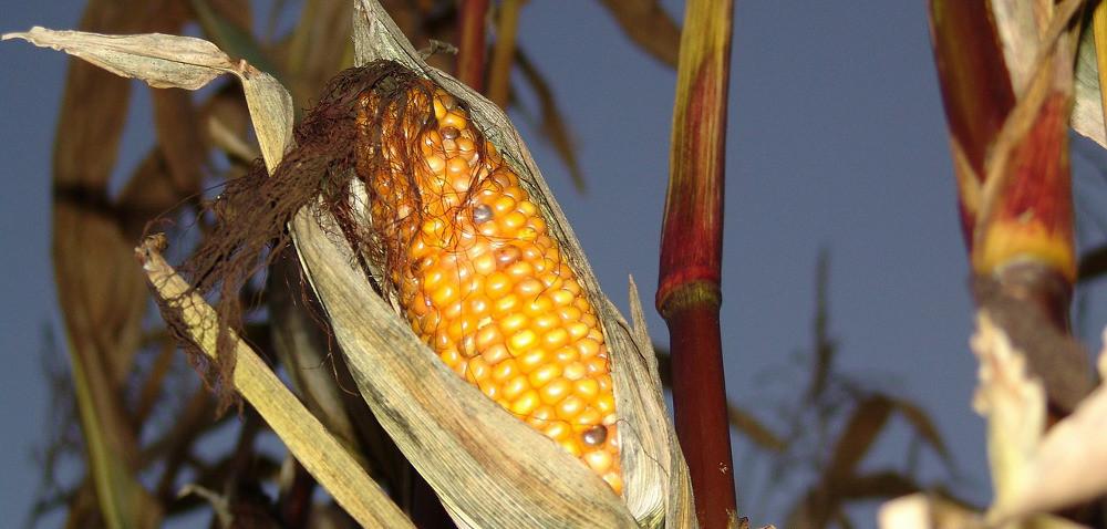 Powoli startują zbiory kukurydzy na ziarno