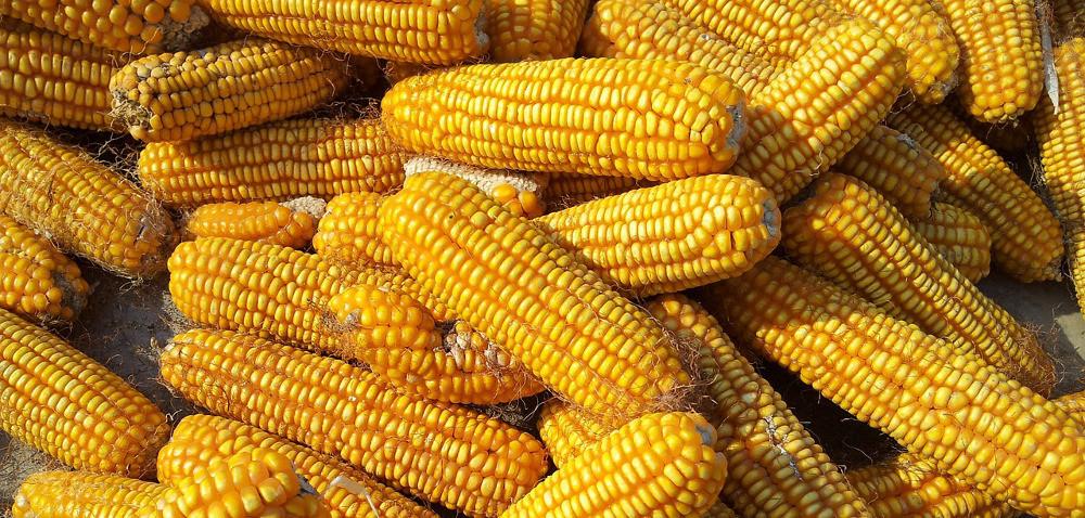 XVIII Dni Kukurydzy wSkrzelewie: co zaplanowano?