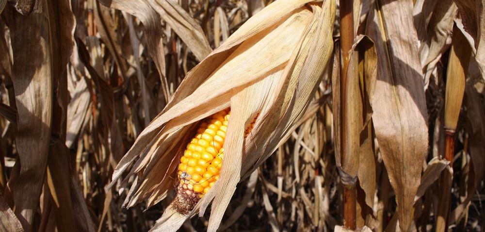 Kukurydza na ziarno: kiedy jest gotowa do zbiorów?