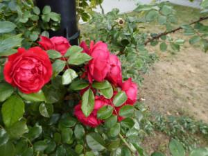 Tak wygląda róża odmiany Florentina zbliska