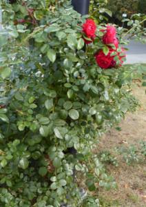 Róża pnąca odmiany Florentina