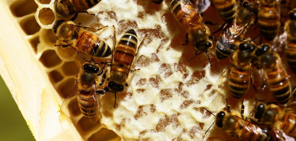 Pszczoły: niektórych miodów jak na lekarstwo