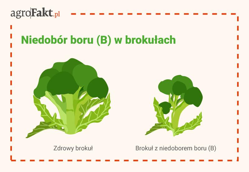 intermag akademia nawożenia brokuły