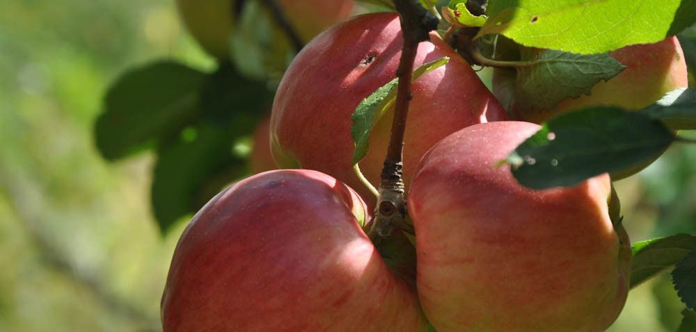Jabłka: albo dużo, albo smaczne?