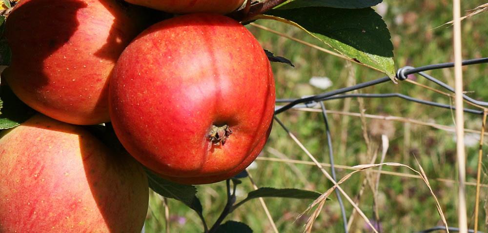 Zanim jabłka pojadą do Chin