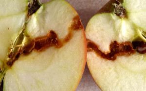 dużo robaczywych jabłek