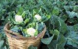 spotkania warzywne firmy syngenta