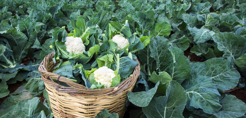 Syngenta: dwa spotkania dla producentów warzyw