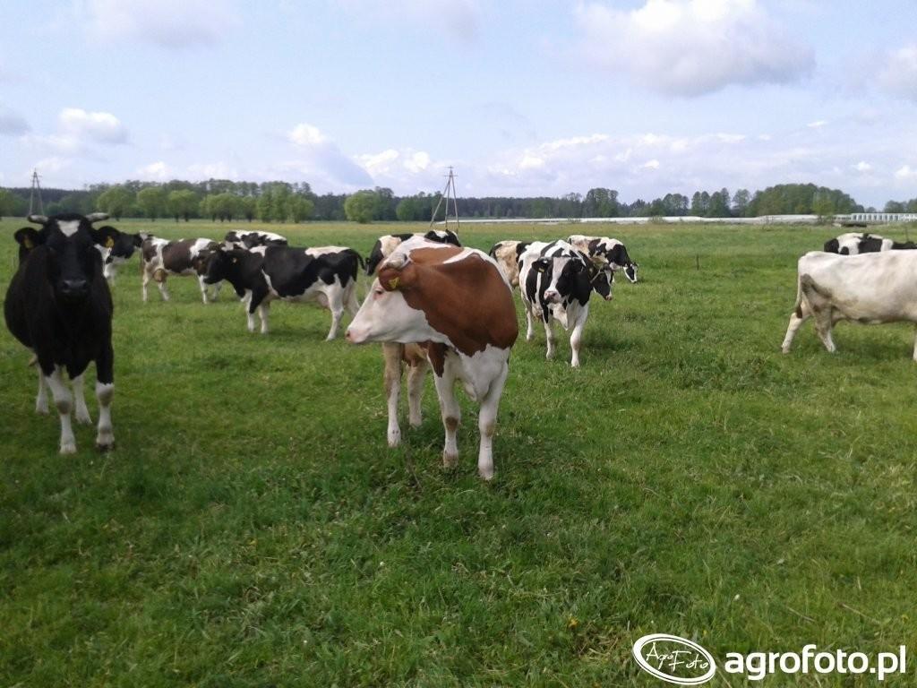 krowy-na-pastwisku_radekz200