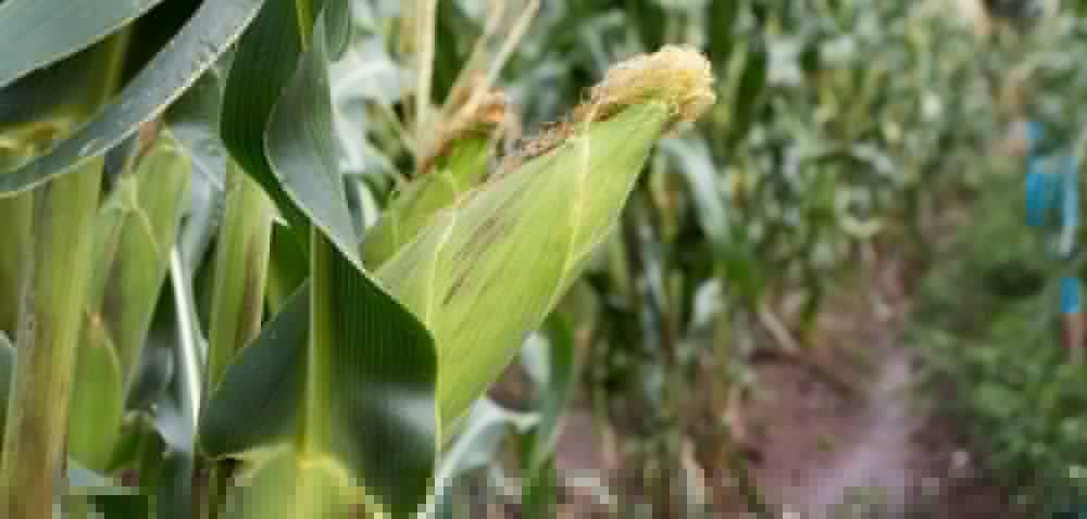 Syngenta: dwa spotkania kukurydziane we wrześniu