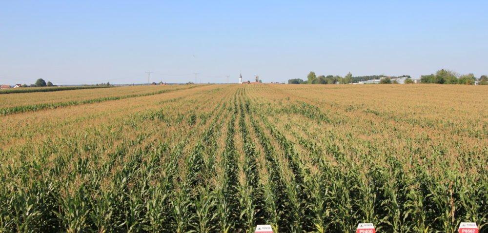 Dzień kukurydzy imleka: co przygotowano?